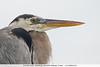 Great Blue Heron - Elizabeth Bay, Isla Isabela, Galapagos, Ecuador