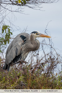 Great Blue Heron - Galapagos, Ecuador