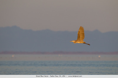 Great Blue Heron - Salton Sea, CA, USA