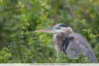 Great Blue Heron - Crooked Tree, Belize