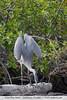 Great Blue Heron - Galapagos, Ecuador