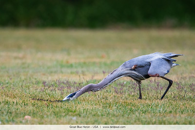 Great Blue Heron - USA