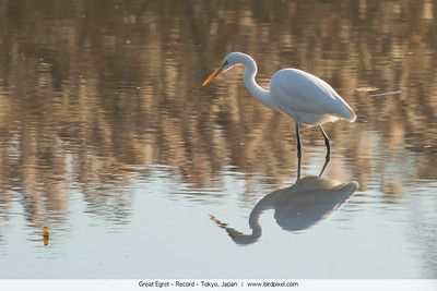 Great Egret - Record - Tokyo, Japan