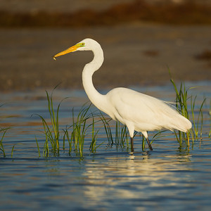 Great Egret - Brownsville, TX, USA