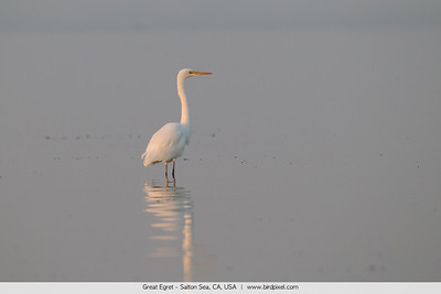 Great Egret - Salton Sea, CA, USA