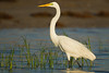 Great Egret - Brownsville, TX, USA