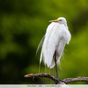 Great Egret - USA