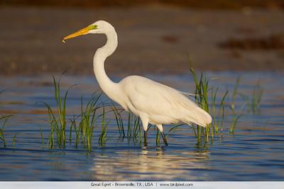 Great Egret - Brownsville, TX , USA