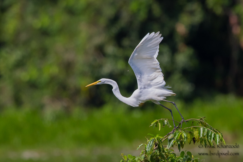 Great Egret - Oxbow lake near Tambo Blanquillo Lodge, Peru