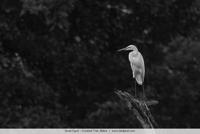 Great Egret - Crooked Tree, Belize