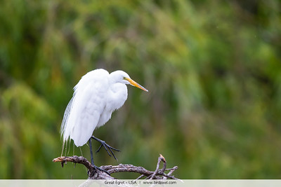 Great Egret - USA
