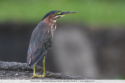 Green Heron - Gamboa Rainforest Resort, Gamboa, Panama