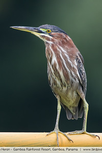 Green Heron - Gamboa Rainforest Resort, Gamboa, Panama