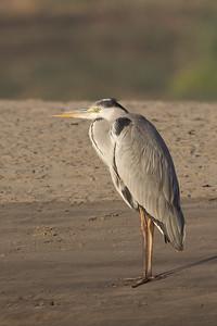Grey Heron - Aswan, Egypt