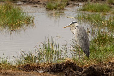 Grey Heron - Tarangire National Park, Tanzania