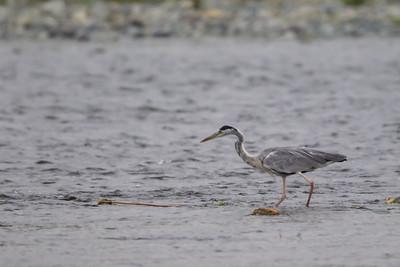 Gray Heron - Kanagawa Prefecture, Japan