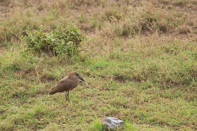 Hammerkop - Ngorongoro Crater, Tanzania