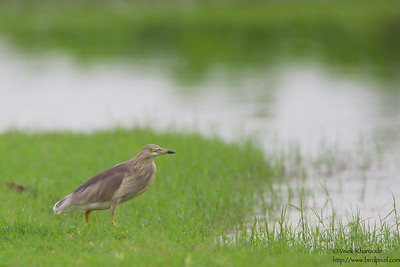Indian Pond-Heron - Record - Ambazari, Nagpur, India
