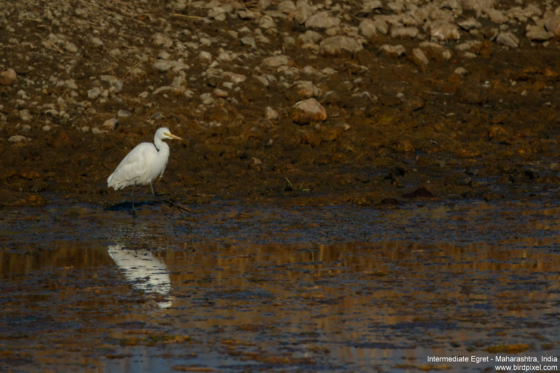 Intermediate Egret - Maharashtra, India