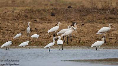 Eurasian Spoonbills, Intermediate Egrets - Kutch, Gujrat, India