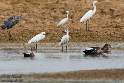 Western Reef Egret, Indian Spot-billed Ducks, Intermediate Egret and Great Egret - Kutch, Gujrat, India