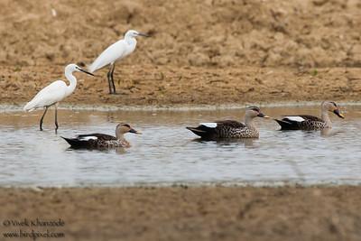 Indian Spot-billed Ducks &  Intermediate Egrets - Kutch, Gujrat, India