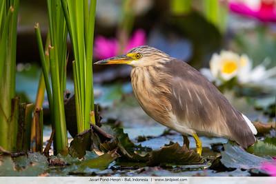 Javan Pond-Heron - Bali, Indonesia