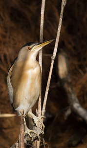 Little Bittern - Aswan, Egypt