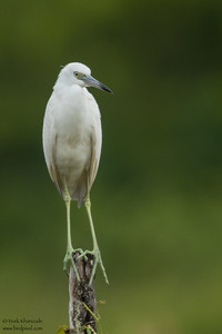 Little Blue Heron - Crooked Tree, Belize