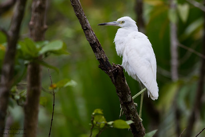Little Blue Heron - Gilpin Trace, Tobago