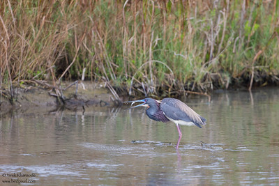 Little Blue Heron - South Padre Island, TX, USA