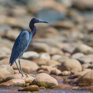 Little Blue Heron - Rio Madre-di-Dios, Peru