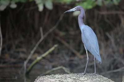 Little Blue Heron - Caroni, Trinidad