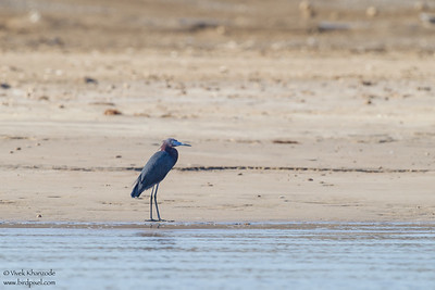 Litte Blue Heron - Brownsville, TX, USA