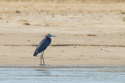 Little Blue Heron - Brownsville, TX, USA