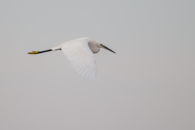 Little Egret in flight - Ambazari backwaters, Nagpur, India