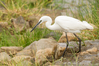 Little Egret - Tarangire National Park, Tanzania