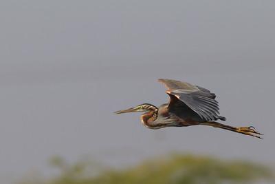Purple Heron - Around Koradi Lake, Nagpur, India