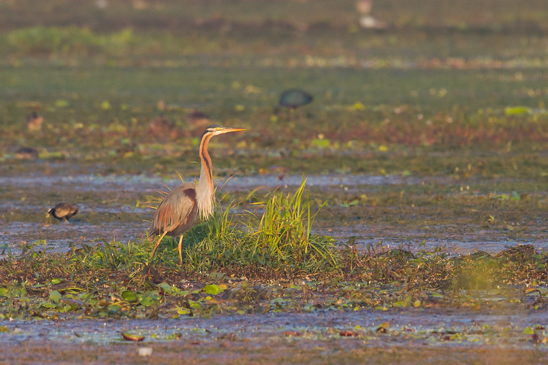 Purple Heron - Around Koradi Lake, Nagpur, India
