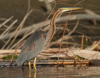 Purple Heron - Aswan, Egypt