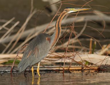 Purple Heron - Aswan, Egypt