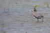 Reddish Egret - South Padre Island, TX, USA