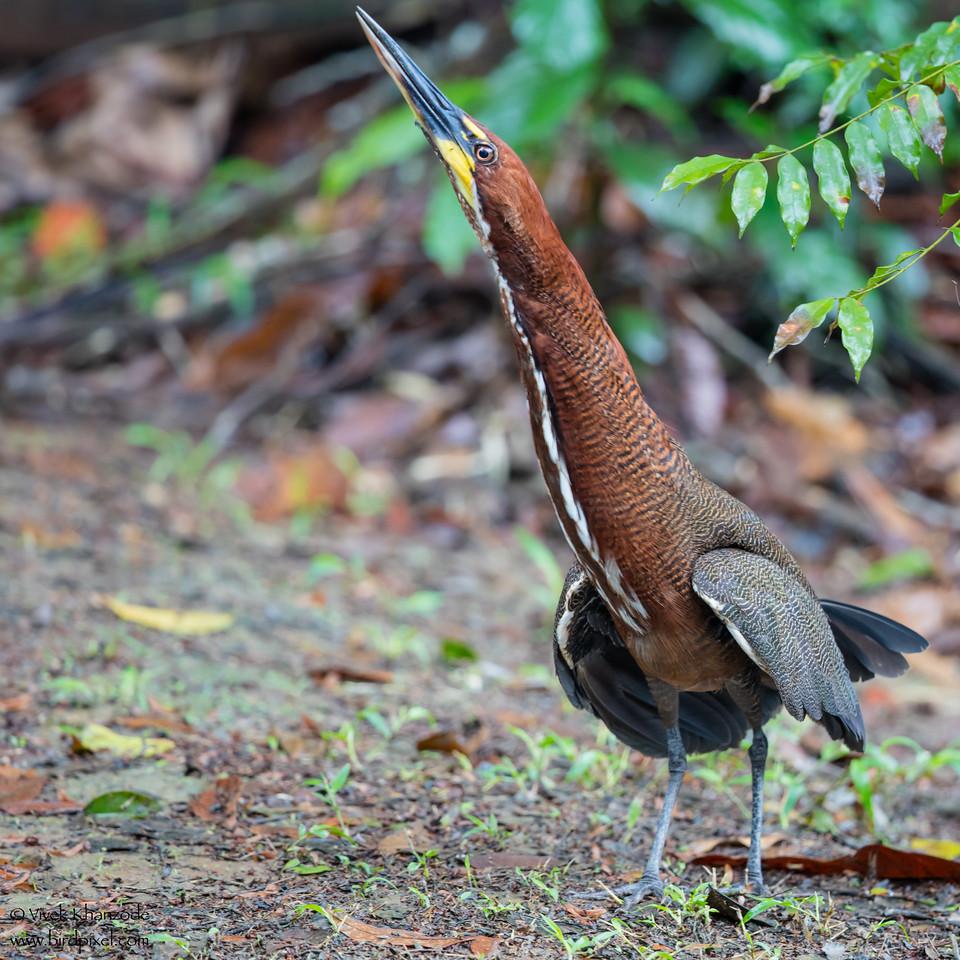 Rufescent Tiger-Heron - Amazon, Ecuador