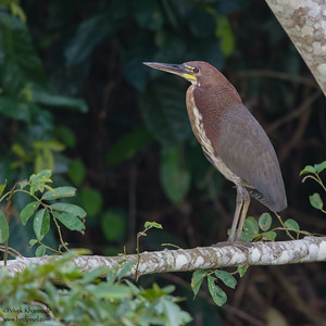 Rufescent Tiger-Heron -  Record - Oxbow lake near Tambo Blanquillo Lodge, Peru