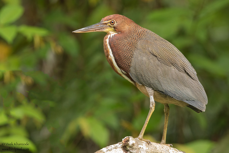 Rufescent Tiger-Heron - Amazon, Ecuador