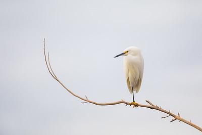 Snowy Egret - AZ, USA