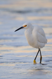 Snowy Egret - Santa Cruz, CA, USA