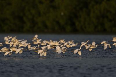 Snowy Egrets - Caroni, Trinidad