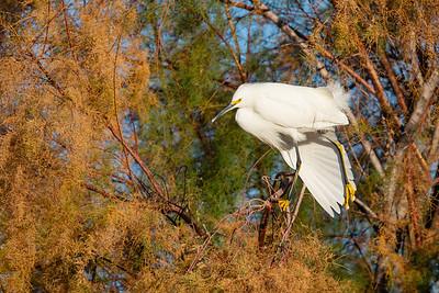 Snowy Egret - Gilbert, AZ, USA