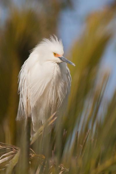 Snowy Egret - Palo Alto, CA, USA